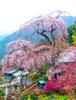龍松寺(しだれ桜)